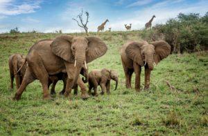Herd of African elephants in National Park, Uganda